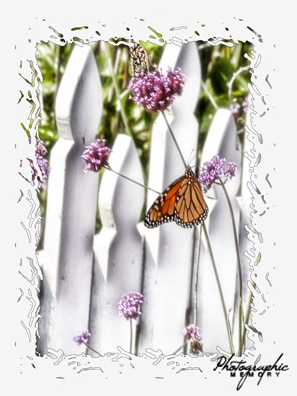 Butterfly on white picket fence Note Card
