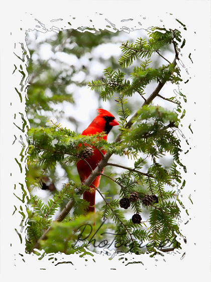 Cardinal in Pine Tree Note Card